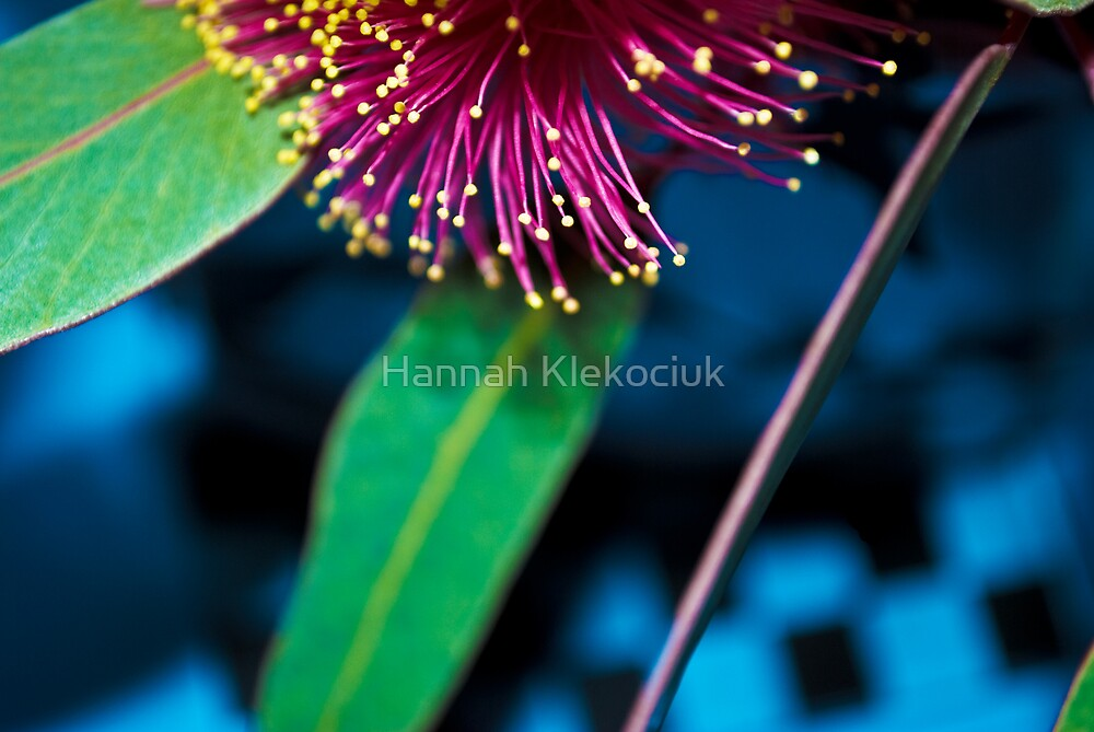 Eucalypt Bloom by Hannah Klekociuk
