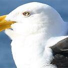 A southern Gull by Trish Threlfall