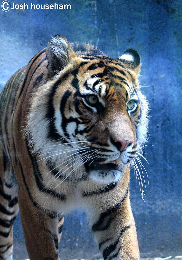 Tiger by Josh househam
