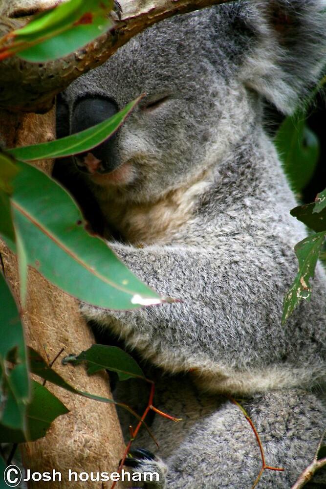 koala by Josh househam