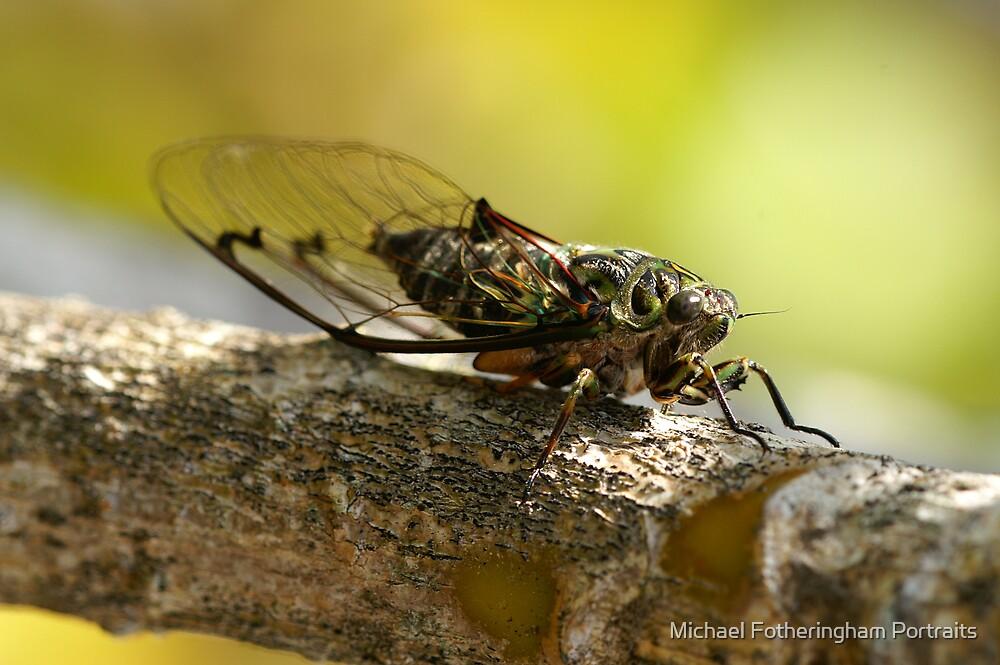 Chorus Cicada by Michael Fotheringham Portraits