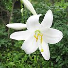 A Beautiful White Lily in our Garden in Romania by Dennis Melling