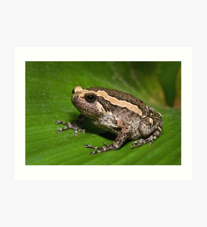 Asian Bullfrog Art Print