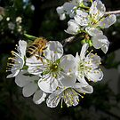 Plum Blossom - Spring is here. by DPalmer
