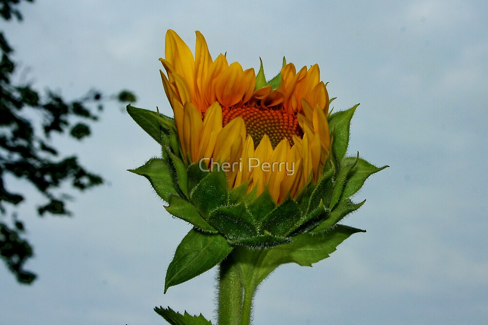 Sunflower III by Cheri Perry
