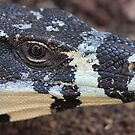 Lace Monitor by Steve Bullock