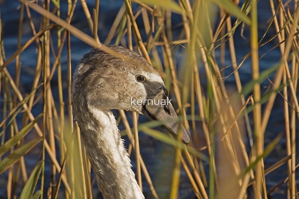 Swan in the Reeds by kernuak