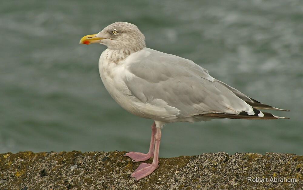 Hering Gull by Robert Abraham