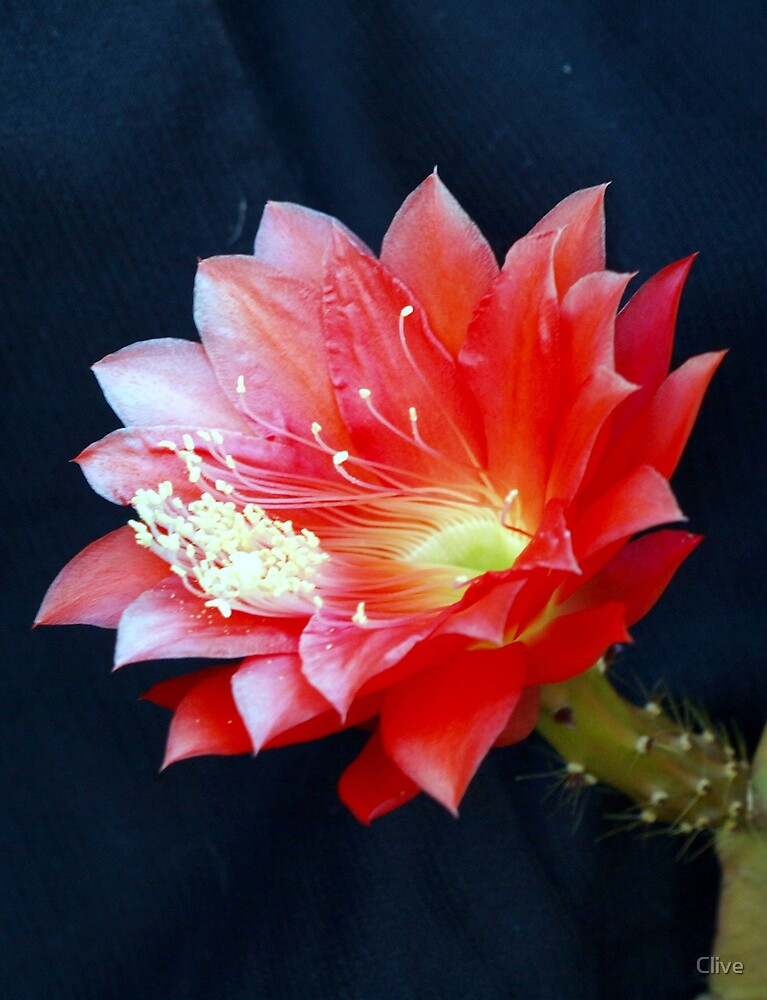 Red Cactus Flower by Clive