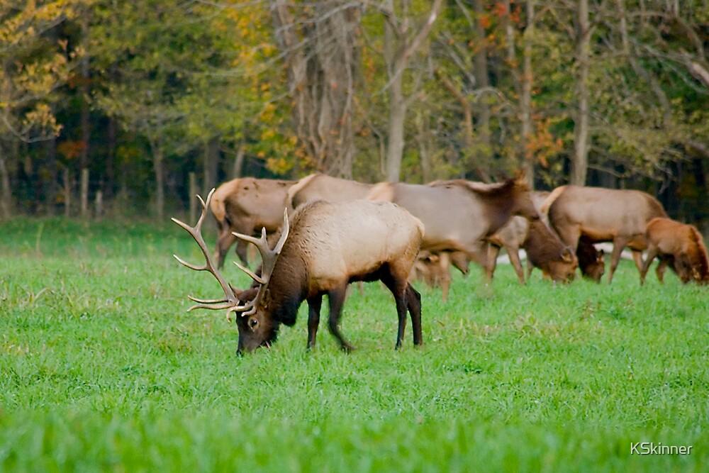 Bull Elk at Ponca by KSkinner