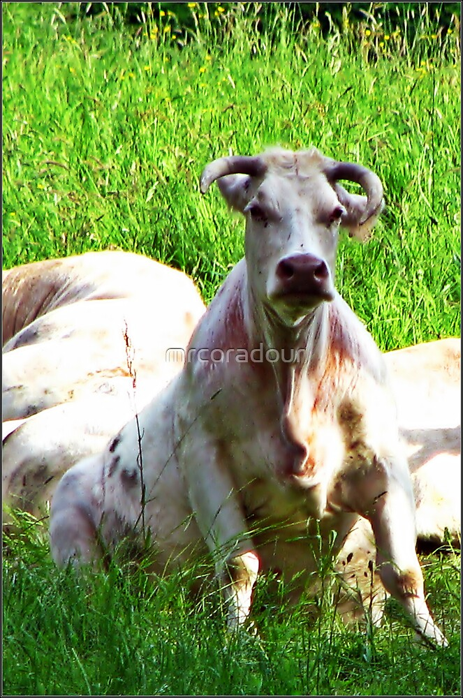 Ever seen a Cow sitting on it's Hunches?????????????????????? by Malcolm Chant