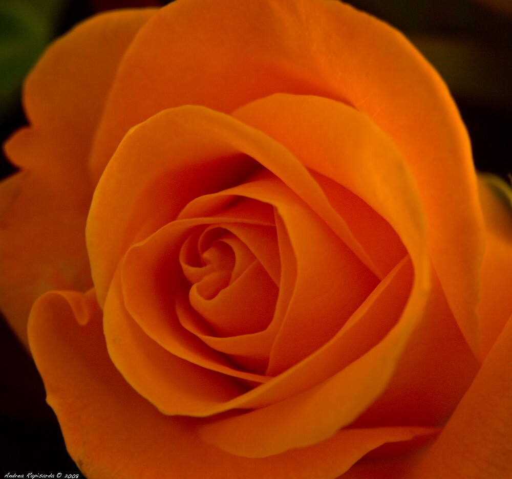an orange rose by Andrea Rapisarda