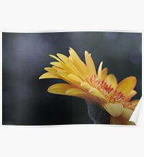Macro photo of Gerbera flower. Poster