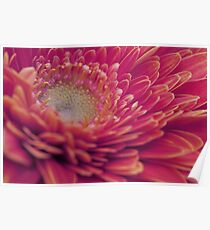 Macro photo of red gerbera flower. Poster