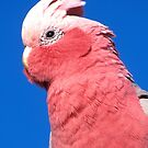 Hello Mr Galah ! by Penny Smith