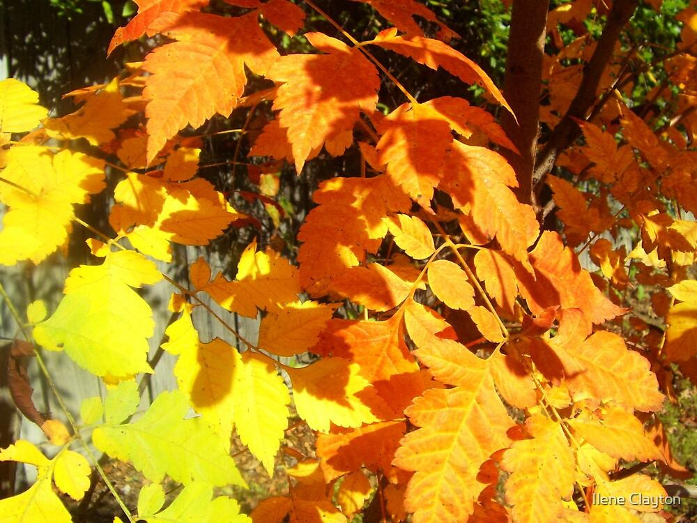 Amazing Autumn Color by Ilene Clayton