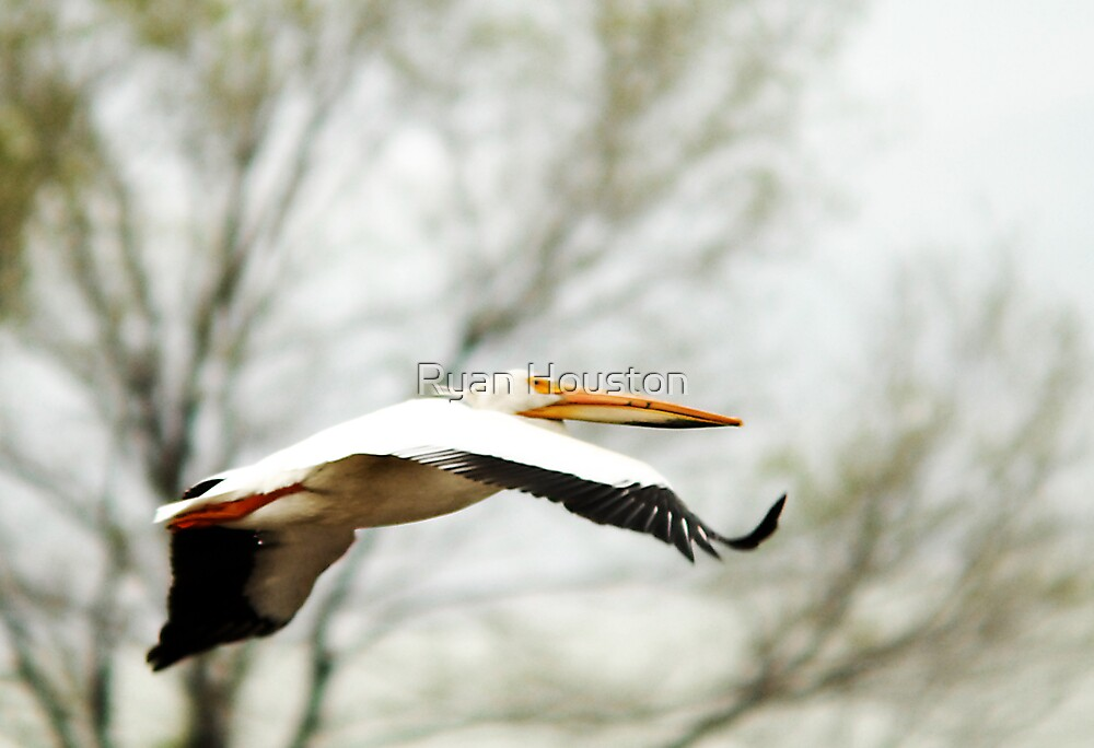 American White Pelican - Flight by Ryan Houston