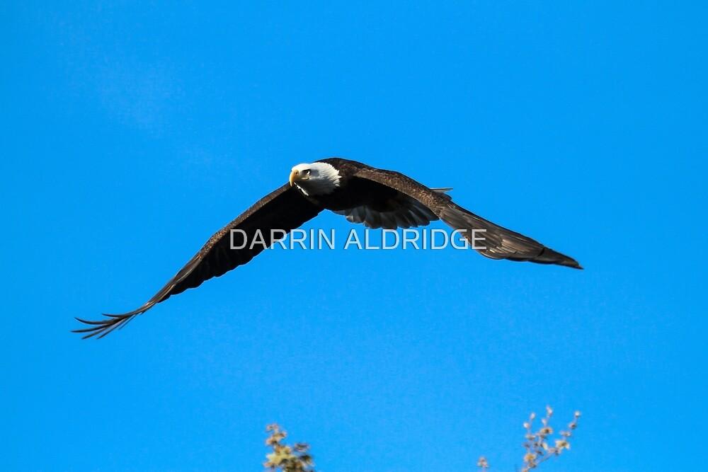 Bald Eagle Flying Proud by DARRIN ALDRIDGE