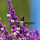 Ruby Throated Hummingbird Defends Its Flowers by DARRIN ALDRIDGE