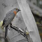 Fan Tailed Cuckoo by caths13