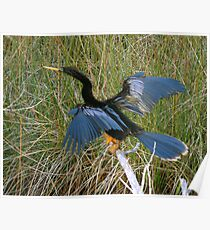 Drying Feathers Poster