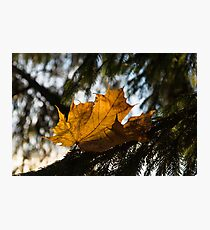 Caught in the Needles - a Honey Colored Maple Leaf in Deep Green Conifer Photographic Print