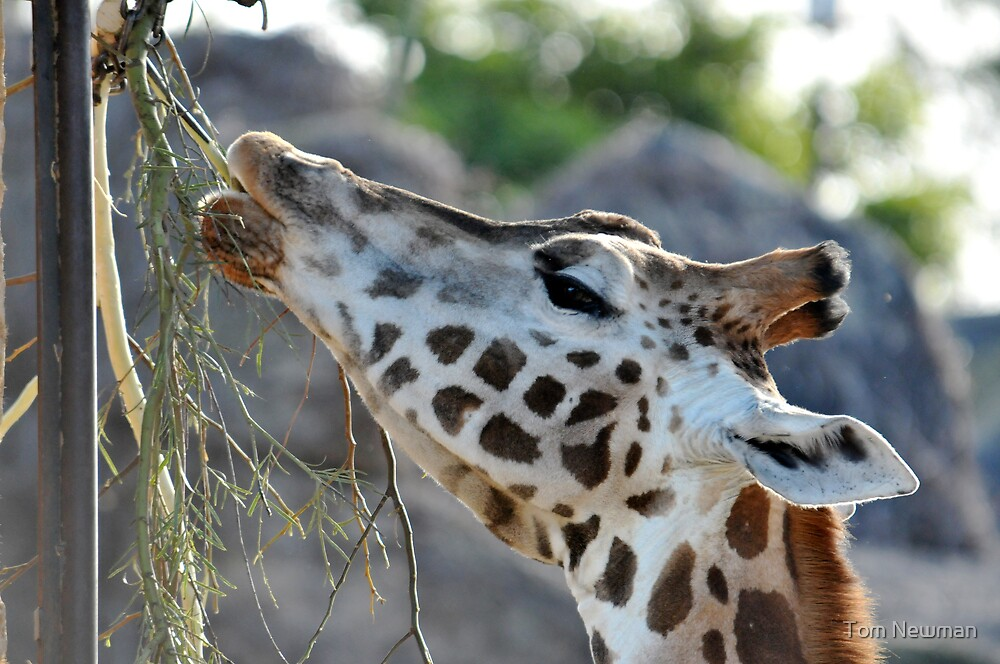 Giraffe IV by Tom Newman