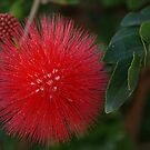 Red Pom Pom Flower by poinsiana