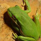 Green Tree Frog. by Ginger  Barritt
