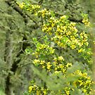 Cytisus growing alongside the road in Trentham, Vic. Australia by EdsMum