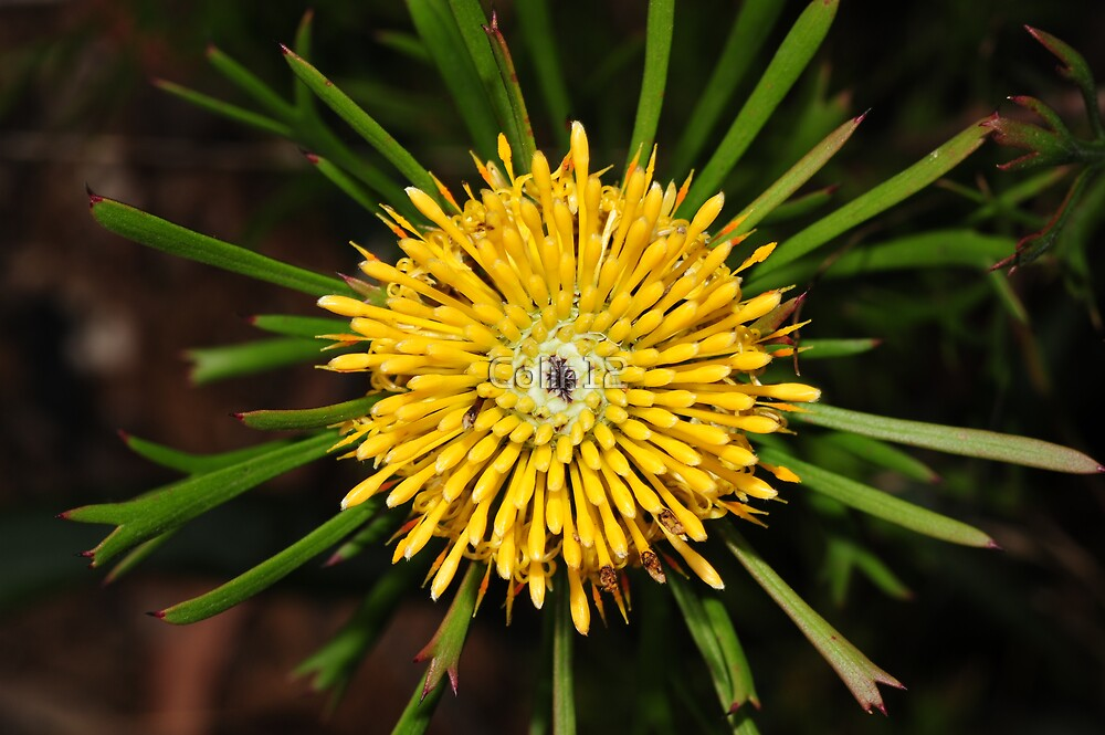 Isopogon anemonifolius  by Colin12