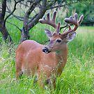Buck in velvet by Jim Cumming