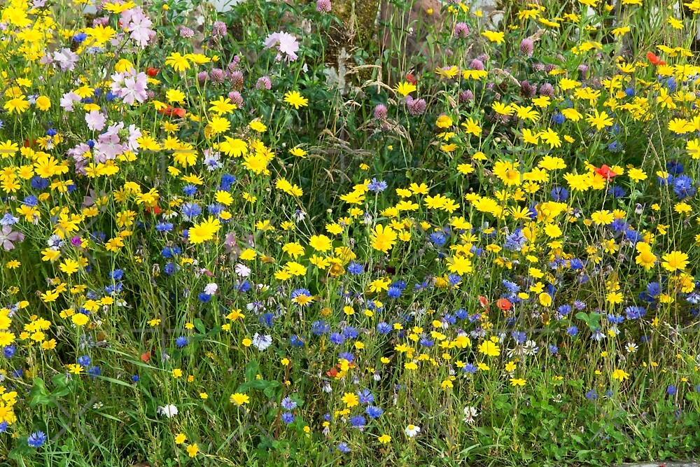 Patch of Colourful Wildflowers by SiobhanFraser