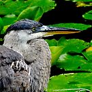 Heron in the lily pond by Beth Brightman