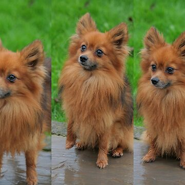 Pomeranian - cute as cute can be by AnthonyThomas