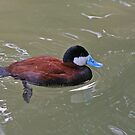 Ruddy Duck by Robert Abraham