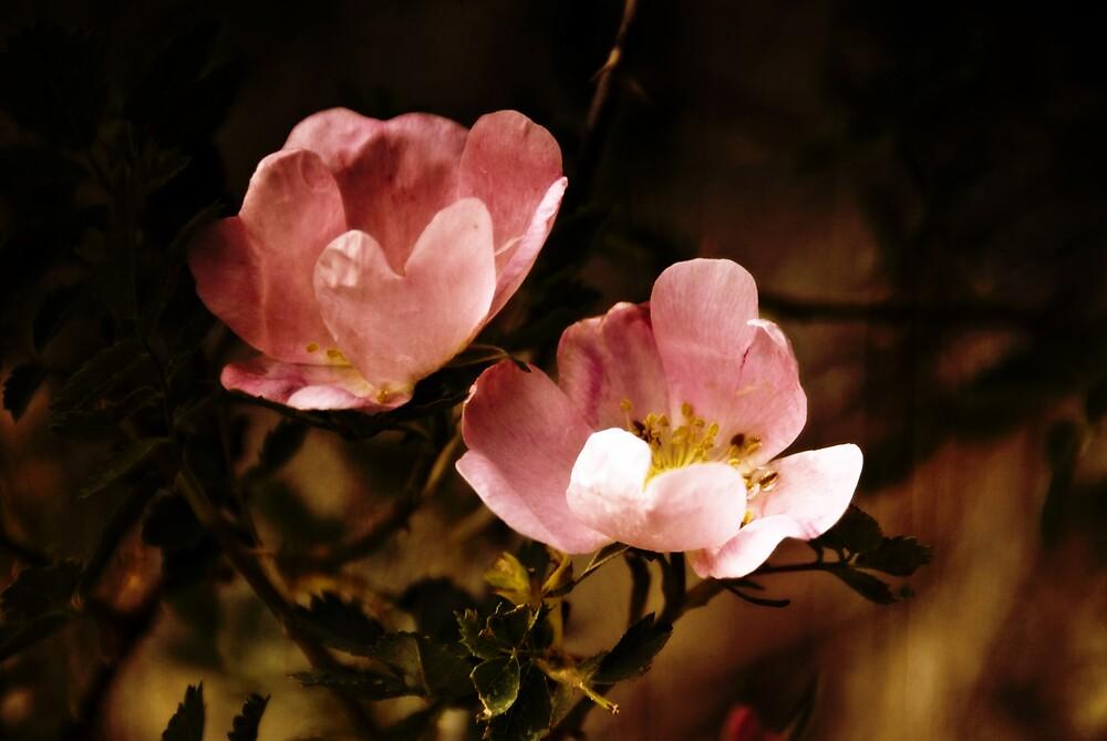 wild rose by Rachel  McKinnie