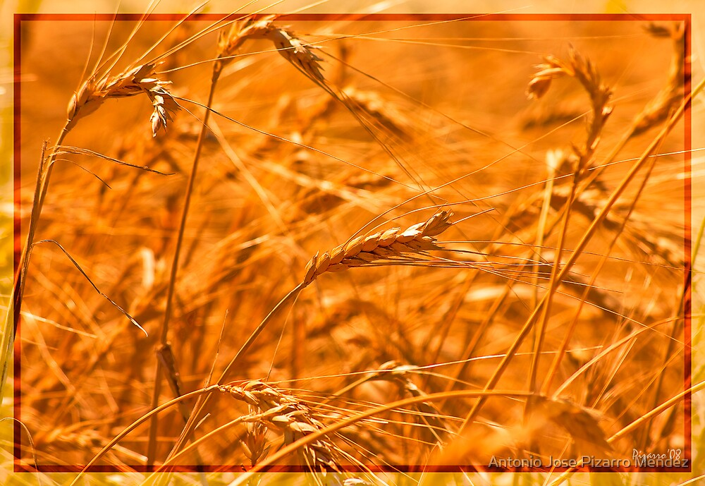Trigo - Wheat by Antonio Jose Pizarro Mendez