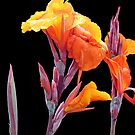 Orange Canna Lily by Donna R. Cole
