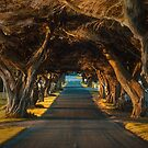 James Street Tree Tunnel 1 by hangingpixels