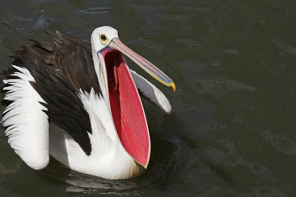 Australian Pelican by roger smith
