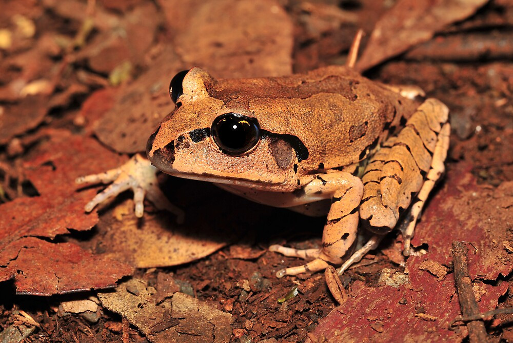 Mixophyes fasciolatus - great barred frog  by Narelle Power