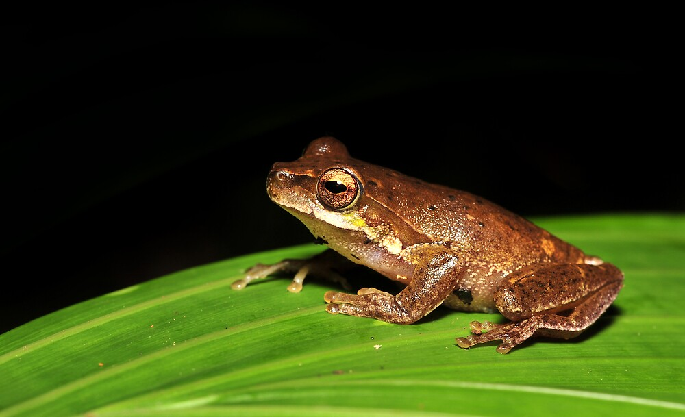 Litoria pearsoniana - cascade frog  by Narelle Power
