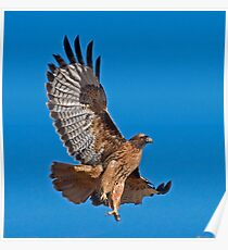 Red Tailed Hawk - Dark Morph Poster