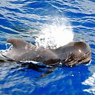 pilot whale blowing his trumpet  by cool3water