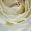 THE ROSE IN A 'DREAMWHITE' by Magriet Meintjes