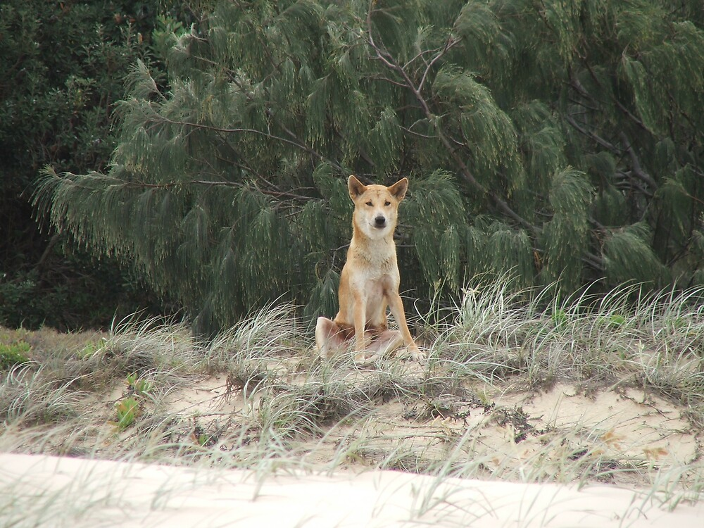 Old Man Dingo by Cherie Carlson