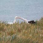 Wandering Albatross Pair Bonding by Carole-Anne
