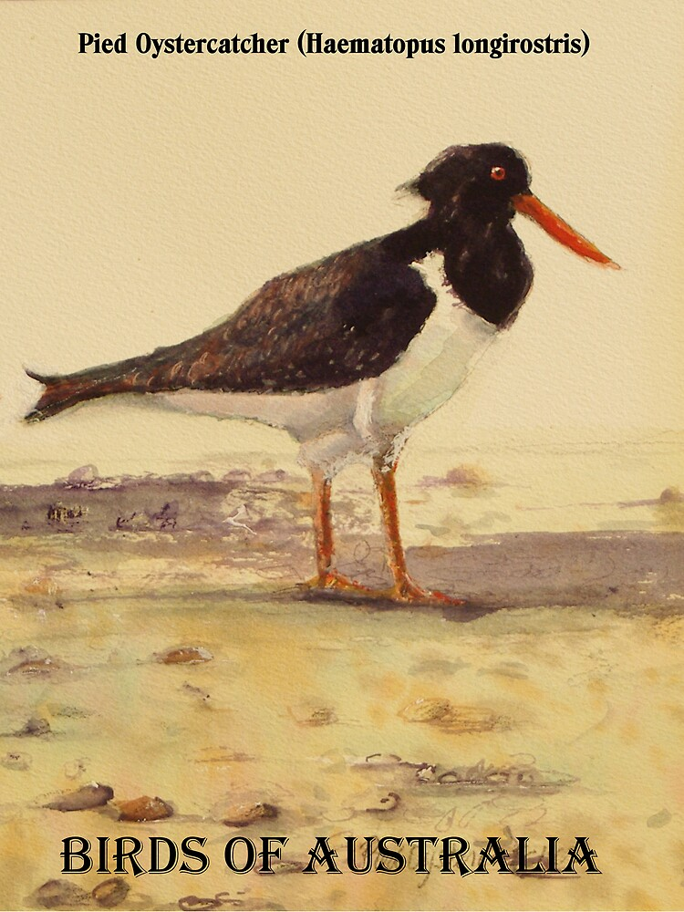 Pied Oystercatcher (Birds of Australia series) by ColinWilliams