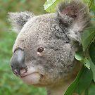 Koala by peterstreet